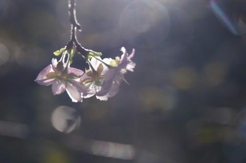 光に満ちた十月桜