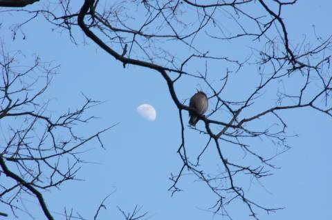 ヒヨドリと月