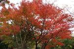 イロハモミジの木