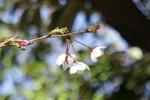 枝先に3輪。東京の桜の咲き始めです。