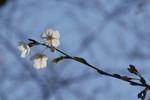 少なくて淋しいけどこれから咲き始めることを考えるとワクワク