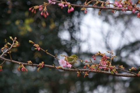 河津桜のメジロ