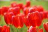 真っ赤な鮮やかな花です