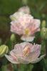 牡丹の花のようです