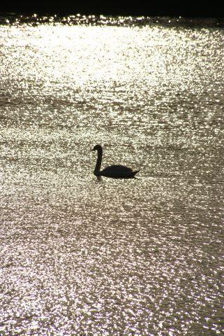 虹色水面を泳ぐ白鳥
