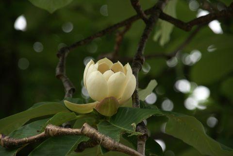 雌花期の朴の花