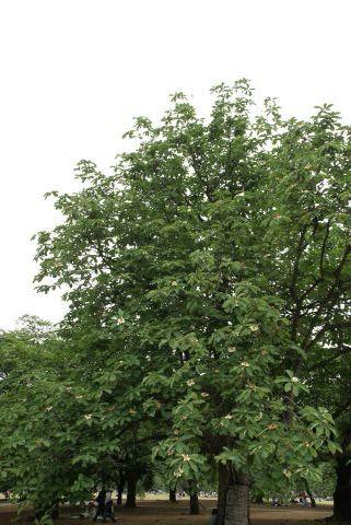百合の木の大木