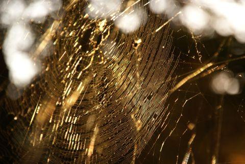 金色蜘蛛の巣