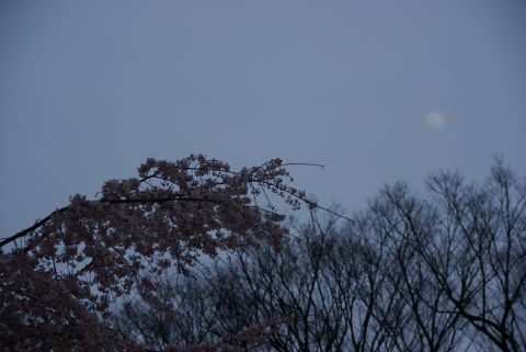 月と枝垂桜
