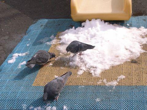 雪をついばむハト