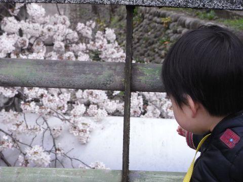 桜より小石