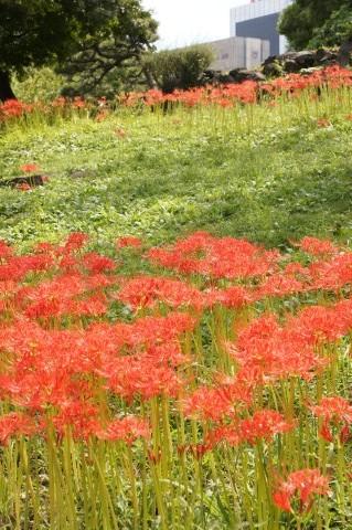 都会に咲くヒガンバナ