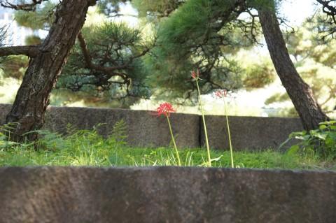 石垣の上のヒガンバナ