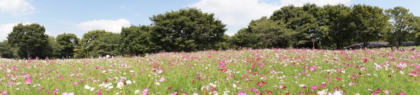 コスモス畑・昭和記念公園
