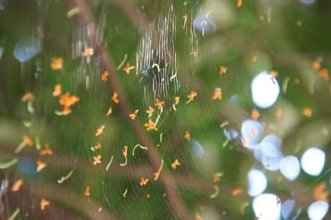 クモの巣にかかった金木犀