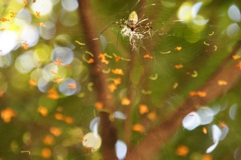 クモが見張るキンモクセイ