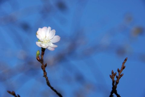 秋空に十月桜