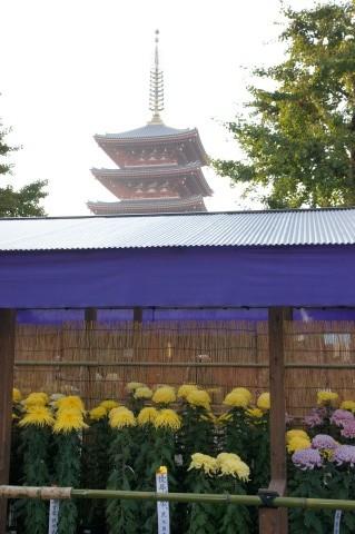 五重塔と菊