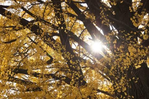 イチョウの木を抜けた日差し