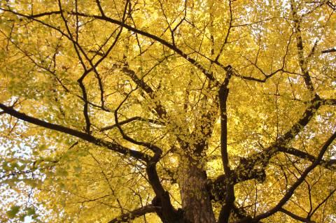 九品仏浄真寺・イチョウの木