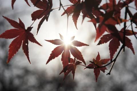 イロハモミジと陽の光