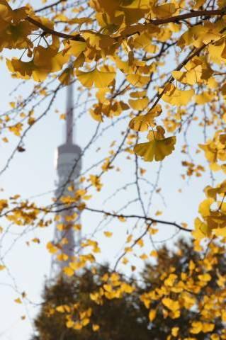 イチョウに埋もれる東京タワー