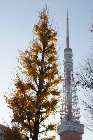 イチョウと東京タワーの背比べ.JPG