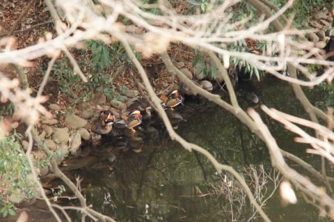 木陰のオシドリ