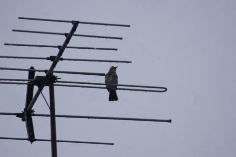 雪の中たたずむヒヨドリ