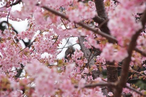 河津桜に隠れるヒヨドリ