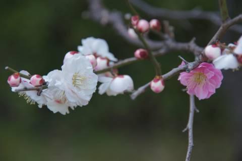 枝違いに咲く紅白梅