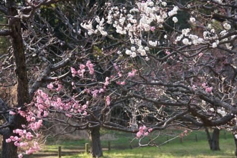 紅白咲く梅