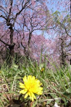 タンポポと桜