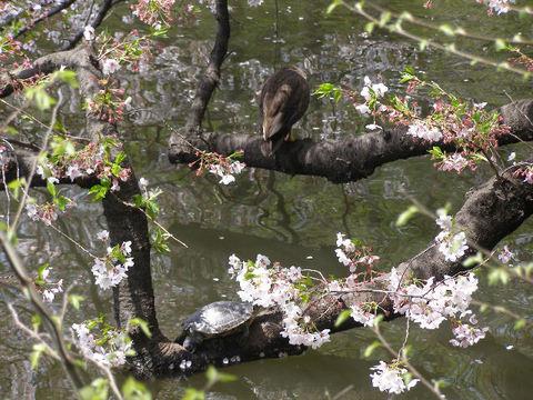 カメカモ桜