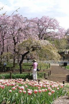 桜とチューリップ4