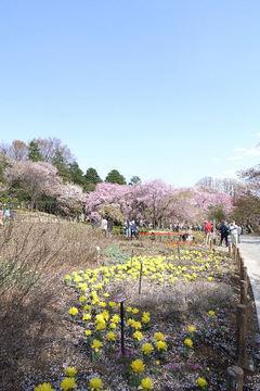 桜とチューリップ5