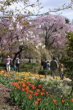 桜とチューリップ6