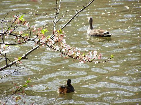 桜とカイツブリ