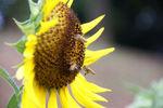 ミツバチのおかげで種が出来そうです