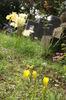ステルンベルギアも花を添えます