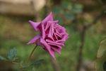「紫雲」 京成バラ園芸