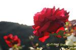 赤のハッキリしたバラ(名前、忘れました)
