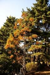 スイショウの木