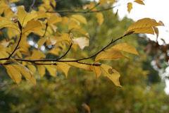 コブシの葉