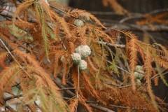 スイショウの葉