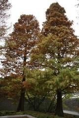 ラクウショウの木