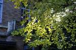 洋館の脇のイチョウ。隙間から漏れる光に金色に輝いています