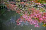 池の上にもまだ色付ききらないモミジが佇んでいます。