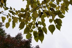 イイギリの葉