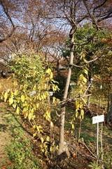 アブラチャンの木